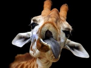 8Feb_Giraffe_400x300